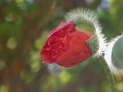 Poppy #02 ( Explored ) (My Best Images) Tags: blommor flickr italien vallmo garden poppy red backlight macro explored 8000