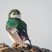 Violet-green Swallow (m) perching on Tufa