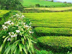 flowers & tea (ekelly80) Tags: azores portugal sãomiguel may2017 teaplantation tea greentea chágorreana flowers green rows lines tealeaves leaves