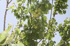 Fruits of the healing garden (Jiyan Foundation) Tags: jiyan foundation humanrights chamchamal iraq irak garden therapy psychotherapy rehabilitation fruits tree healinggarden kurdistan