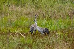 Cranes (Jurek.P) Tags: birds bird cranes żurawie mazury masuria poland polska nature ptaki jurekp sonya77