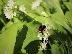 Bumble Bee on Wild Garlic (Julie (thanks for 9 million views)) Tags: 100flowers2017 wildflowers ireland irish tinternwoods wildgarlic ramsons alliumursinum foliage green bumblebee insect fauna flora beautifulnature canoneos100d wings hww