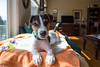 Dooley, 15 wks old (marylea) Tags: apr22 2017 spring dooley parsonrussellterrier parsonrussell dog puppy prt jrt jackrussellterrier jackrussell terrier 15weeksold