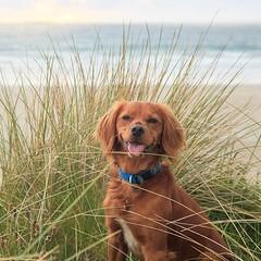 Smiles all round at the beach!• • • • • #campingwithdogs #hikingwithdogs #dogsonadventures #dogsthathike #adventuredog #thestatelyhound #houndandlife #backcountrypaws #doglove #hikingdogsofinstagram #excellent_dogs #adventureswithdogs #topdogphoto #heeler (watson_the_adventure_dog) Tags: smiles all round beach• • campingwithdogs hikingwithdogs dogsonadventures dogsthathike adventuredog thestatelyhound houndandlife backcountrypaws doglove hikingdogsofinstagram excellentdogs adventureswithdogs topdogphoto heelergram hikingdog animaladdicts traildog irishdaily bestwoof hikingcollective pawsitiveliving wanderireland instaireland inspireland irishpassion irelandgram dogoftheday hikingtheglobe