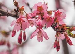 Fujizakura樱花 (elenaleong) Tags: tokyo17 富士樱花 fujizakura cherryblossom mt fuji elenaleong springtime shibazakurafestival
