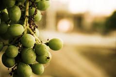 Green Grapes (Abderraouf Cheniki) Tags: sony nex 5t green grape grapes dof background web