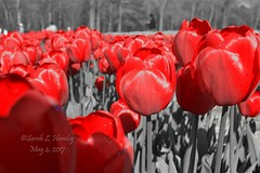 #red #blackandwhite #maniplation #colorselection #wickedtulipsflowerfarm   #tulips #spring   #RhodeIsland #VisitRhodeIsland   #flowers #sun #colors  #growing #Aprilshowers #Mayflowers #Johnston   #farm #tulip #beauty #garden #field  @wickedtulips (sarahhamby) Tags: instagramapp square squareformat iphoneography uploaded:by=instagram wickedtulipsflowerfarm tulips tulip spring rhodeisland visitrhodeisland flowers sun colors growing aprilshowers mayflowers johnston farm field may local fresh gardening landscaping
