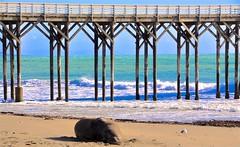 Elephant Seal at San Simeon Pier (larsling) Tags: sansimeon san simeon elephant seal