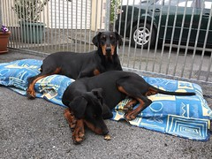 Doberman Pinschers Saxon and Gabbana Relaxing Outside (firehouse.ie) Tags: k9 canine animals animal dogs female gabbana dog young puppy pup saxon tan black male pinschers pinscher dobermanns dobermann dobermans doberman dobeys dobey dobies dobie dobes dobe