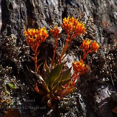 Dudleya cymosa (saganorth2000) Tags: canyonliveforever dudleyacymosa crassulaceae redorange mercedrivercanyon spring wildflower dudleya macro