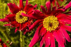 Anemone pulsatilla - Kuhschelle (Karabelso) Tags: blumenflowermakro red yellow blossom macro garden anemone pulsatilla kuhschelle garten