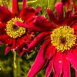Anemone pulsatilla - Kuhschelle thumbnail