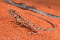 Central Military Dragon (Ctenophorus isolepis) (Jules Farquhar.) Tags: julesfarquhar centralmilitarydragon ctenophorusisolepis agamid agamidae dragon lizard reptile squamate sand outback desert arid australia finke northernterritory