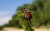 Anisoplia baetica (Manuel A. M.) Tags: olympusem10markii olympusm30mmf35macro arthropoda hexapoda insecta coleoptera polyphaga scarabaeiformia scarabaeoidea scarabaeidae rutelinae anomalini anisopliina anisoplia anisopliabaetica