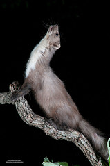 Garduña (Martes foina) (Justino Bordallo Cordero) Tags: garduña bosques hayedos encinares nocturna mamifero carnivoro forests beech trees holm oak nocturnal mammal carnivorous