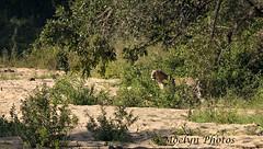 Leopard in the Bush (moelynphotos) Tags: leopard leopardfeline bigcat animalwildlife oneanimal bush brush walking maleanimal large krugernationalpark nationalpark southafrica africa nature spotted elusive animal mammal moelynphotos