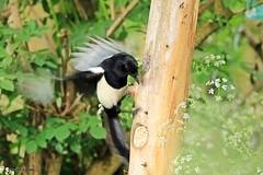 J78A0441 (M0JRA) Tags: birds parks gardens rspb lakes ponds fields trees nature