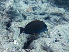 Hanauma Bay 6 (venusnep) Tags: hanaumabay hanauma bay underwater tropicalfish tropical fish iphone watershot watershotpro hawaii snorkeling travel travelphotography may 2018