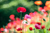 Poppy (Hideo N) Tags: poppy nature trioplan fantasticflower