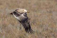 Tawny Eagle - Pale Race (Hector16) Tags: africa nomad safari outdoors tanzania ndutu drought wildlife serengeti shinyangaregion tz aquilarapax tawny eagle ngc npc