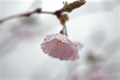 May Showers 003 (smilla4) Tags: bokeh flower cherryblossom pink raindrops waterdrops spring maine branch