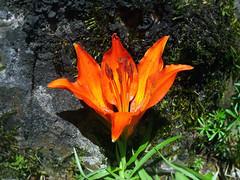 Don Juan (art & mountains) Tags: alpi alps orobie floraalpina gigliodisangiovanni liliumcroceum gigliorosso natura bellezza biodiversità lilium armonia disegno forme colore poemasinfonico fuoco fuego