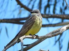 Cassin's Kingbird - Madrona Marsh (weezerbee9) Tags: