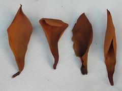 quatre (fotosonic73) Tags: magnolia pétales fleur sec brun composition courbes enroulé recourbé