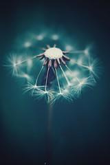 inner glow (christian mu) Tags: flowers bokeh nature spring dandelion münster muenster germany botanicalgarden botanischergarten sonya7ii sony macro 9028g 90mm 9028 christianmu