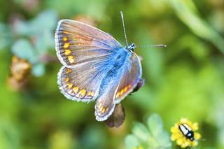 Mariposa Lycaenidae Aricia montensis (Verity, 1928)