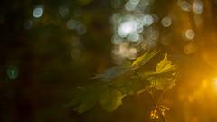 _MG_3555_web (Erik Koffmar) Tags: maple leaf sun sunray evening golden forest wood tree mapletree goldenhour koffmar uppsala norby sweden cityforest stadskogen blur bokeh vintagelens vintage meyergörlitz meyer trioplan f29 50mm ddr soapbubble sunset sunshine summer