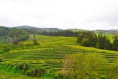 tea plantation (ekelly80) Tags: azores portugal sãomiguel may2017 teaplantation tea greentea chágorreana field view valley rows lines leaves tealeaves trees
