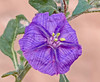 CAD0014467a (jerryoldenettel) Tags: 170518 2017 asterids boneyhill curryco nm purplegroundcherry quincula quinculalobata solanaceae solanales flower groundcherry willdflower