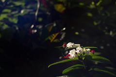 nEO_IMG_DSC03316-2 (Bryan Shan@) Tags: sony a55 sonya55 tamron tamronsp2448mmf3538 sp 2448mm f3538 model13a flower 花 plant 植物