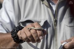 Biscia delle sabbie (Psammophis namibiensis), Namibian Sand Snake (paolo.gislimberti) Tags: namibia swakopmund animals animali serpenti snakes erpetologia herpetology serpentiafricani africansnakes rettili reptiles