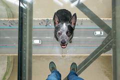Don't look down! (esslingerphoto.com✈ (Off to Corfu and Sicily)) Tags: dog towerbridge tourist tourism visitlondon visitthecity cattledog australiancattledog glass glassfloor london londonlandmarks brave heeler blueheeler dogslifeinlondon dogs