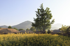Thatched Houses & Rapeseeds (Johnnie Shene Photography(Thanks, 2Million+ Views)) Tags: thatch thatched house thatchedhouse rapeseed oilseed nature natural wild architecture buildings builtstructure interesting awe wonder landscape scenic scenery korea suncheon jeollanamdo travel destination attraction landmark local regional rural tree flowers plants adjustment sunbeam sunlight day shadow folkvillage naganfolkvillage folk village tradition asia oldstyle oldfashioned tranquility peace vacation ancient parallel canon eos600d rebelt3i kissx5 sigma 1770mm f284 dc macro lens 순천 낙안 낙안읍성 풍경 유채꽃 초가집 마을