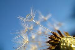 bluedrop (ecstaticist - evanleeson.com) Tags: 1000drops 1000dropsoflight macro drop droplet droplets blue sky dandelion seed water refraction dew mist plant