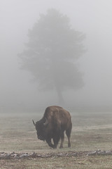 Bison grazing on a foggy morning at Lower Geyser Basin (YellowstoneNPS) Tags: yellowstone bison fog portrait spring trees