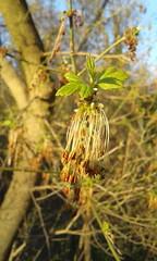 Acer negundo (tammoreichgelt) Tags: inflorescence flower spring box elder ashleaved maple ash acer sapindaceae