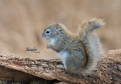 Squirrel (Rainfire Photography) Tags: squirrel lyndeshores nature wildlife whitby ontario rainfirephotography portrait