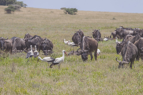 Wildebeest Grazing , with White  Storks in attendance for insects diturbed_4615
