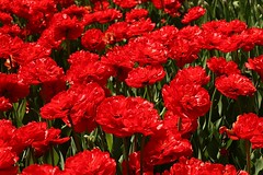 2017 Ottawa Tulip Festival 045 (Chrisser) Tags: flowers tulips tulipfestivals tulipfestival liliaceae nature ottawa ontario canada canoneosrebelt6i canonefs1855mmf3556isstmlens travel