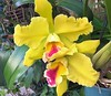 BLC Goldenzelle 'Lemon Chiffon (Ligia M Lo Re) Tags: picturesofflowers canon canonmarkiii orquidófilos gardening iloveorchids minhasorquideas orquidário orquídeas fleurs flowers orkide orchidee orchids