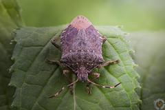 Halyomorpha halys ? - Punaise diabolique (PatHDTattoo) Tags: punaise diabolique halyomorpha halys insecte insect bug macro ef100mmf28lisusmmacro