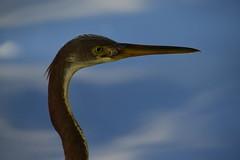 Pretty Eye (h862213) Tags: eye neck bird heron greyheron macro longneck wildlife animal yelloweye habitat nikon nikon5300 florida lakeeola photography 眼睛 鸟 鶴 closeup species