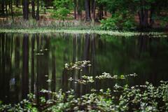 walk about Harris Lake 34 (furrycelt) Tags: harrislake newhillnc nikon85mmf14afd nikon85mmf14 northcarolina shearonharrisreservoir ianwilson jianwilson photographersoftumblr 85mm d600 nikon forest furrycelt lake lensblr natural nature trees water woods