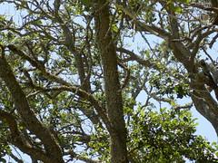 Old Tree. (dccradio) Tags: southport nc northcarolina brunswickcounty outside outdoors sky bluesky tree trees greenery natural plant scenic treelimbs sticks branches leaves foliage