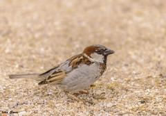 The little bird (Jotha Garcia) Tags: pajaro bird oiseau vogel ave nikond3200 jothagarcia mayo may 2017 primavera spring mai printemps frühling nikkor5502000mmf4056 7dwf
