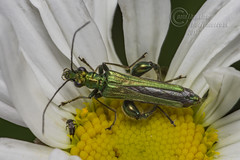 _IMG6424 Swollen-thighed Beetle - Oedemera nobilis (Pete.L .Hawkins Photography) Tags: wollenthighed beetle oedemera nobilis petehawkins petelhawkinsphotography petelhawkins petehawkinsphotography pentax 100mm macro pentaxpictures fantasticnature fabulousnature incrediblenature naturephoto wildlifephoto wildlifephotographer naturesfinest unusualcreature naturewatcher insect invertebrate bug 6legs compound eyes creepy crawly uglybug bugeyes fly wings eye veins flyingbug flying shell elytra ground